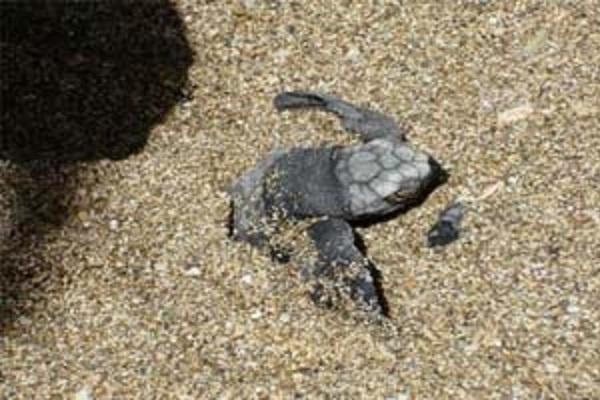 Turtle Nesting Tamarindo - La Oveja Negra Tamarindo Tours